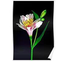 White Peruvian Lily Portrait. Poster