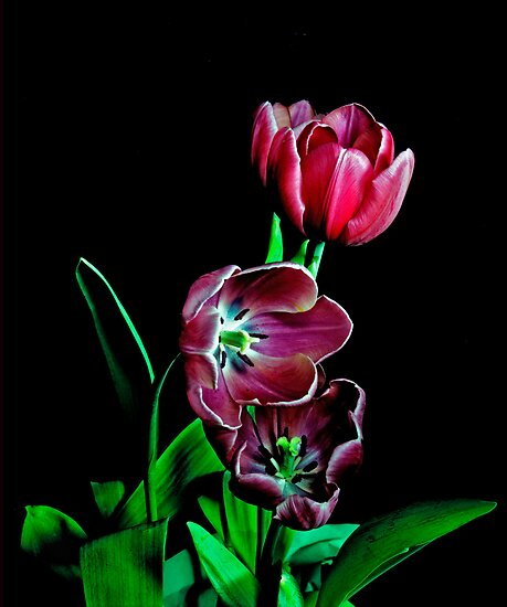 Tulip Portrait. by chris kusik
