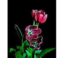 Tulip Portrait. Photographic Print
