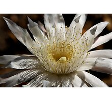 Queen of the Night Blossom  Photographic Print