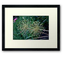 Allium- Post Flower Framed Print