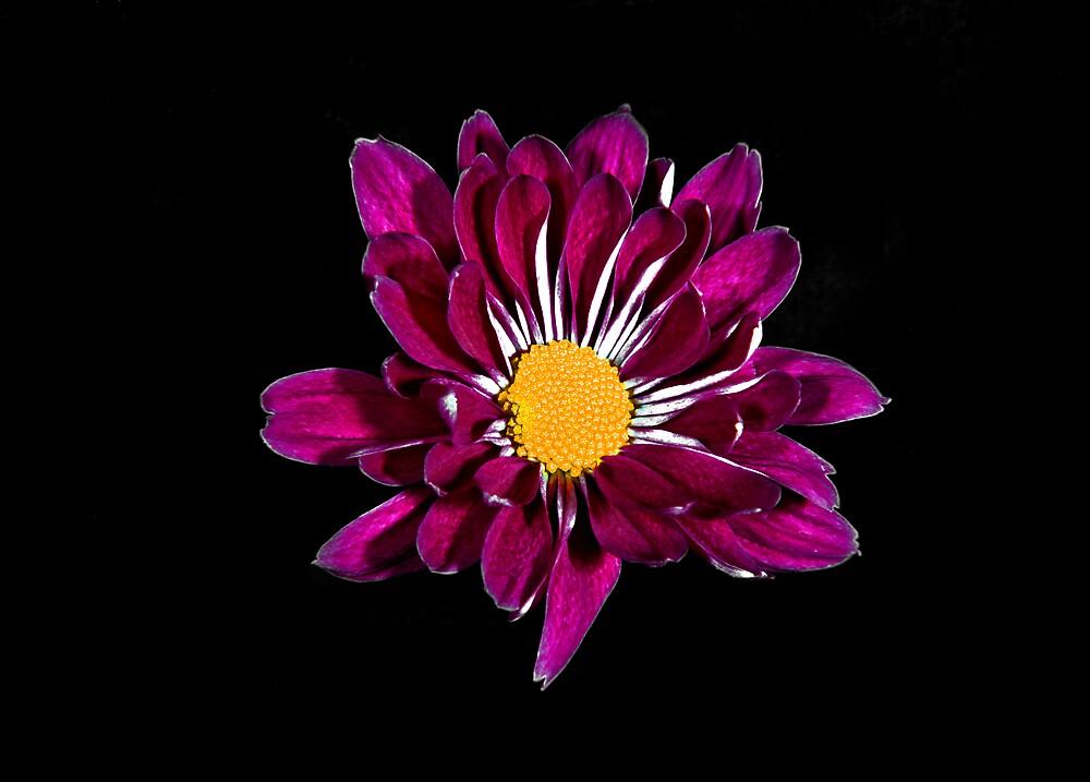 Purple Daisy Portrait. by chris kusik