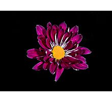 Purple Daisy Portrait. Photographic Print