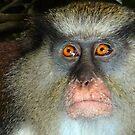 Mona Monkey in Grenada by globeboater