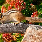 Eastern Chipmunk by Michael Cummings