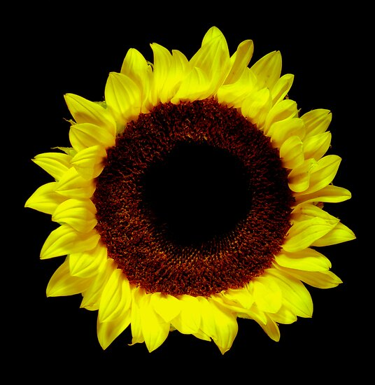 Sunflower Portrait. by chris kusik