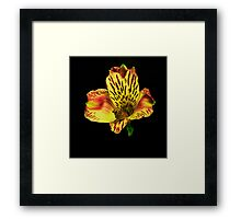 Yellow Peruvian Lily Portrait. Framed Print
