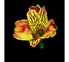 Yellow Peruvian Lily Portrait. Photographic Print