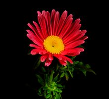 Red Daisy Portrait. by chris kusik
