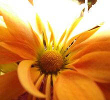 lonely orange flower by pauladolphins