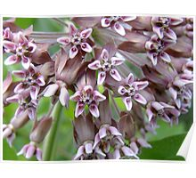 Common Milkweed  - Asclepias syriaca L. (Asclepiadaceae) Poster
