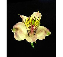 Yellow Peruvian Lily Portrait #2. Photographic Print