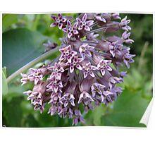 Common Milkweed - Asclepias syriaca L. (Asclepiadaceae)  Poster