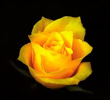 Yellow Rose Portrait. by chris kusik