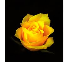 Yellow Rose Portrait. Photographic Print