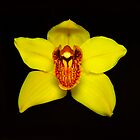 Yellow Cymbidium Portrait #2. by chris kusik