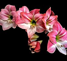 Pink Amaryllis  Cluster Portrait. by chris kusik