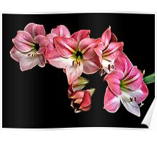 Pink Amaryllis  Cluster Portrait. Poster