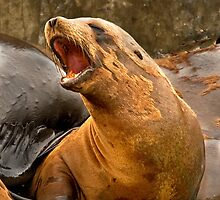 California Sea Lion by Floyd Hopper