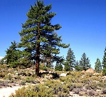Pines In The Desert by marilyn diaz