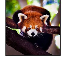 Red Panda by DavidCG