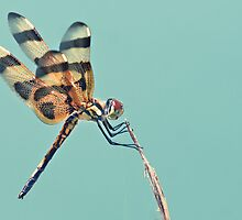 Dragonfly by cesstrelle