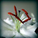 Lily by karolina