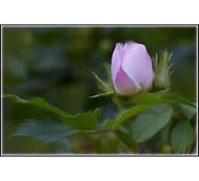 Wild Rose  Photographic Print