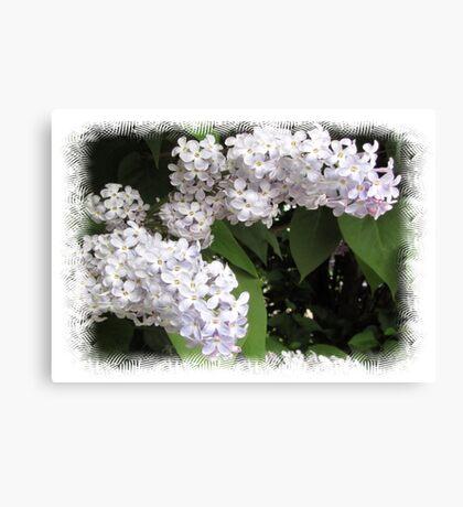 White lilac Canvas Print