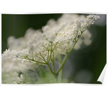 Elderflower Macro Poster
