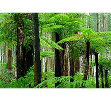 Black Spur Forest Photographic Print