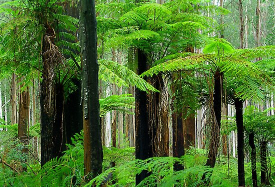 Black Spur Forest by Bette Devine