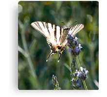 Swallowtail on Lavender Canvas Print