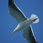 Herring Gull in Flight  by shane22