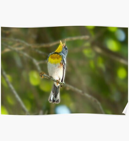 Northern Parula Singing his little heart out Poster