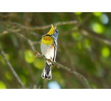 Northern Parula Singing his little heart out Photographic Print
