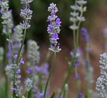 """""""Lavender in the Morning"""" by Caldeira"""