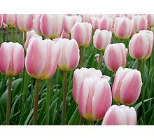 Tulips 15 Photographic Print