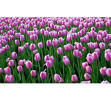 Tulips 14 Photographic Print