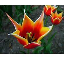 Tulips 4 Photographic Print