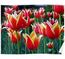 Tulips 3 Poster