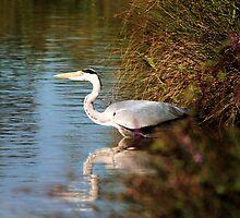 Heron by MichelleKeohane
