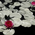 Water Lilies by photecstasy