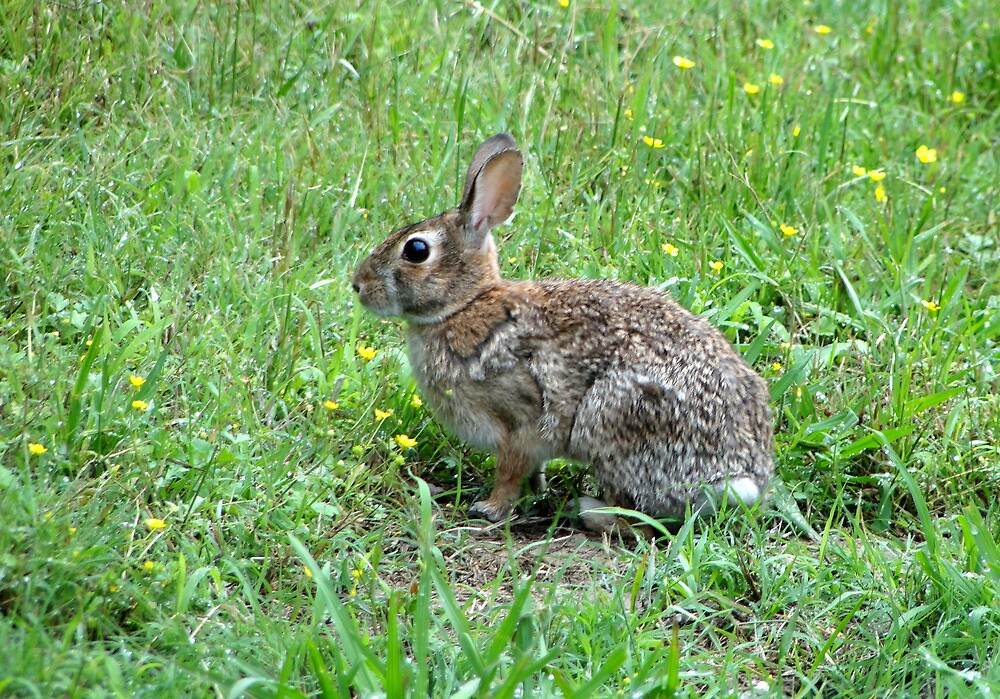 Honey Bunny by Carolyn  Fletcher