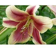 Gorgeous Lily Photographic Print