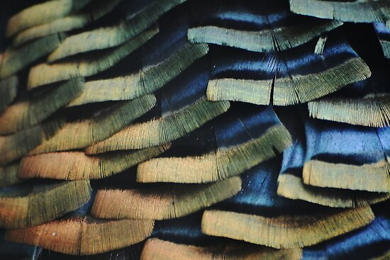 Wild turkey feathers by Kate Farkas
