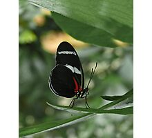 Antiochus Longwing. Photographic Print
