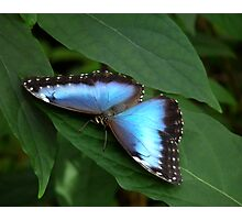 Blue Morpho #2. Photographic Print