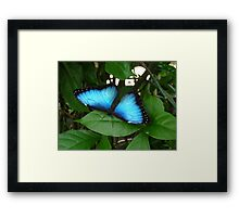 Blue Morpho #1. Framed Print