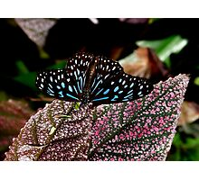Dark Blue Tiger. Photographic Print